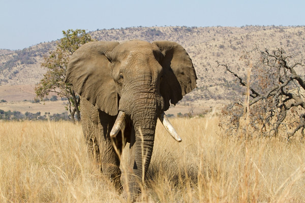 The largest vegan in the world, an elephant in the Pilanesberg National Park
