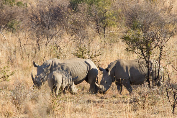 A Rhino family in the Pilanesberg National Park