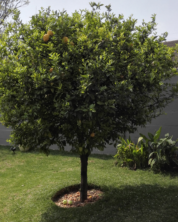VgnMF-15-Day-13-Vegan-Lemon-tree