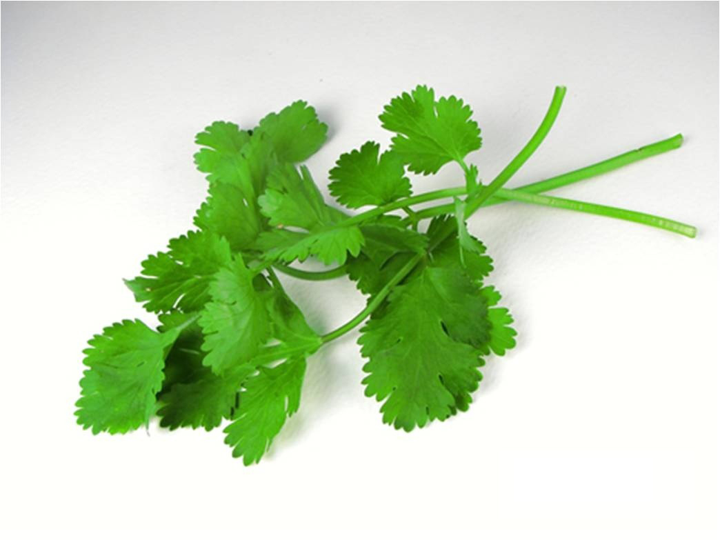 Coriander, my favourite herb